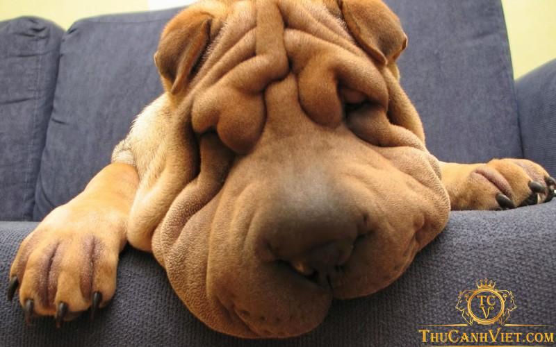 """Chó Shar Pei - chú chó """"cau có"""" đáng yêu nhất trái đất"""