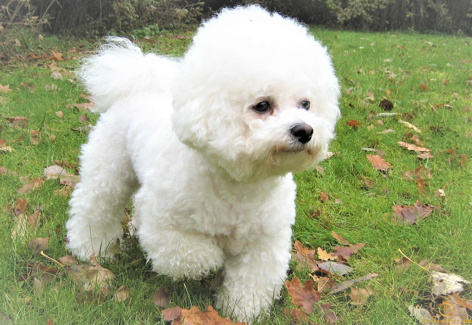 Chó Bichon Frise với vóc dáng đáng yêu