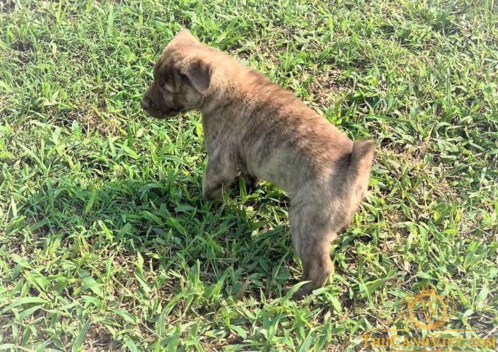 Chó H'Mông Cốc màu vện con