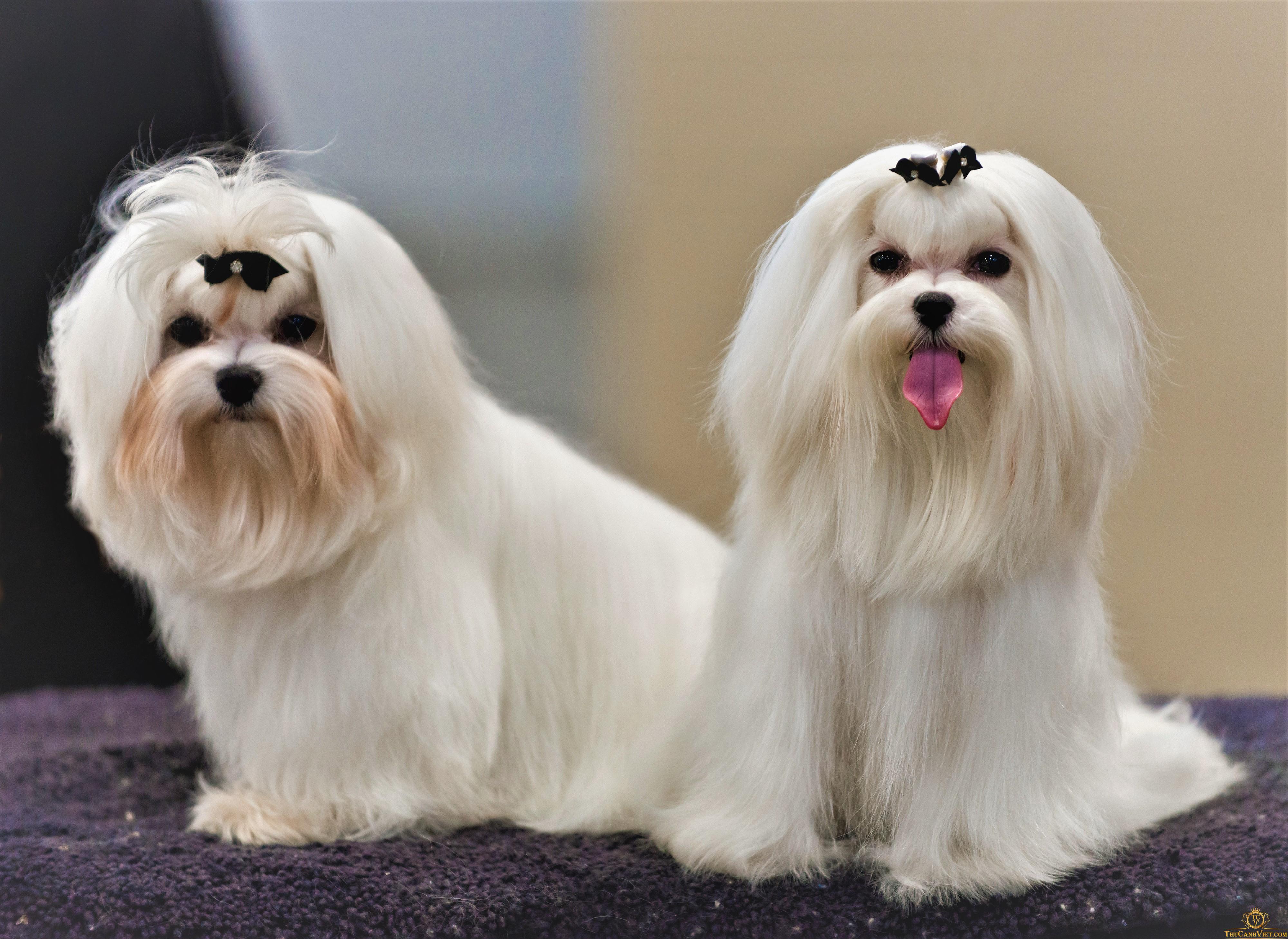 Những chú chó Maltese được tuyển chọn tham gia Dog Show thế giới