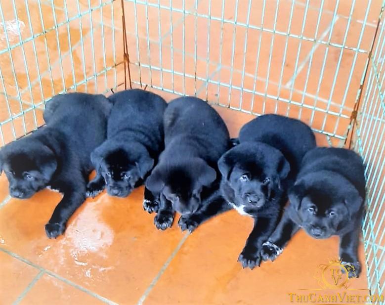 Đàn chó Mông Cộc đen con 2 tháng tuổi
