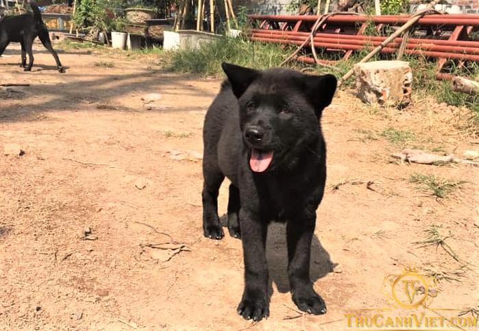 Chó Mông cộc đen 3 tháng tuổi