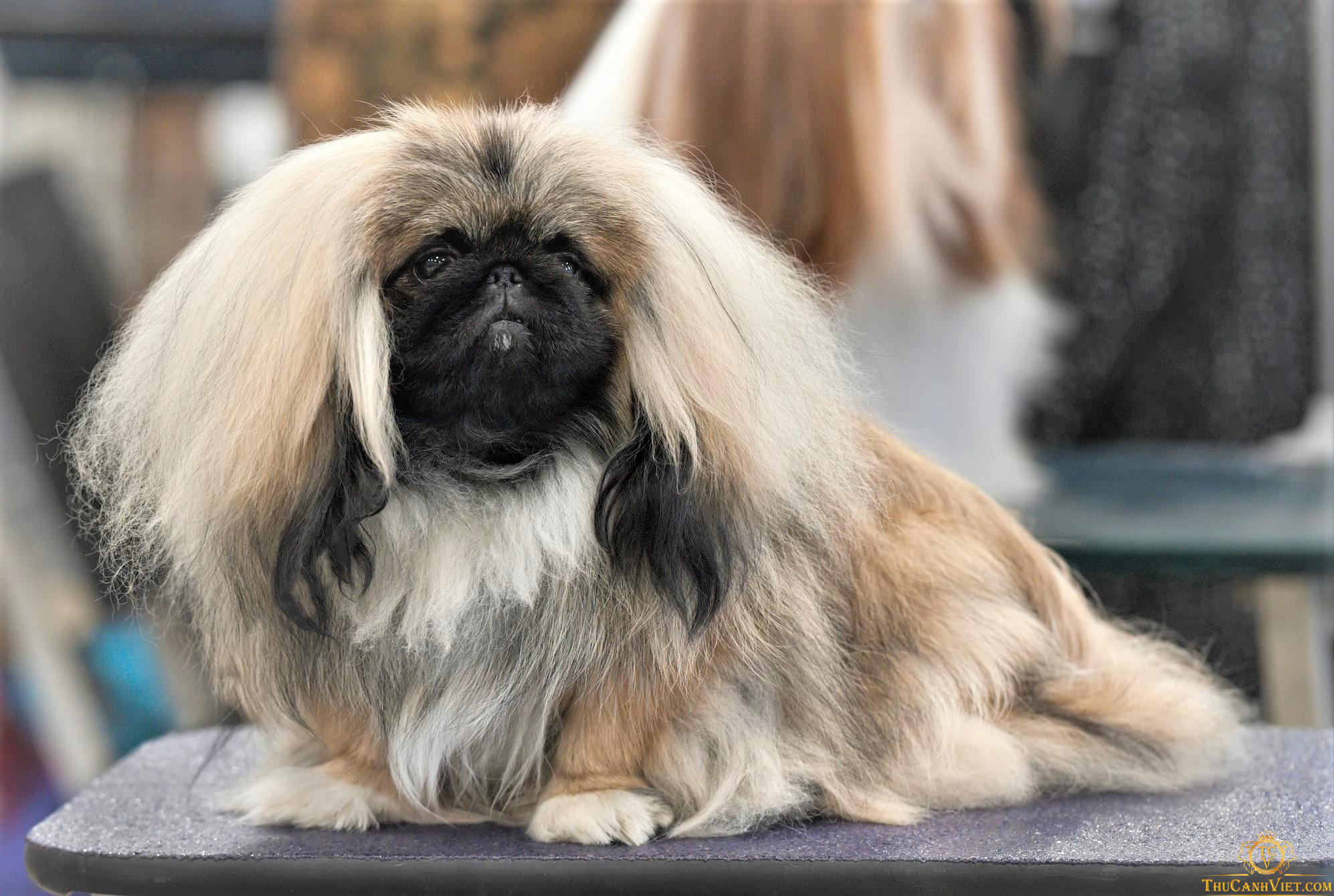 Chó Pekingese tuyển chọn tham gia cuộc thi Dog Show quốc tế