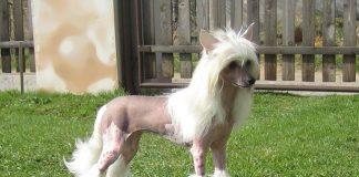 Vóc dáng hấp dẫn của chó có mào