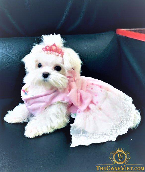 Công chúa Maltese xinh xắn