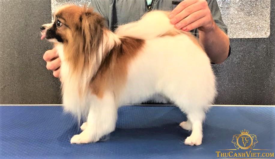 Chó Papillon được tuyển chọn đi thi DogShow quốc tế