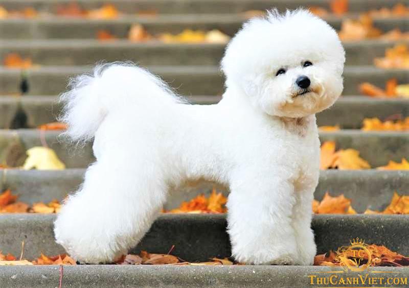 Đừng nhầm lẫn giữa chó  Bichon Frise va poodle nhé
