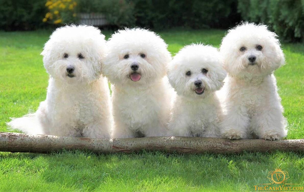 Đại gia đình nhà Bichon Frise