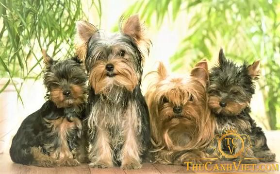 Gia đình nhà yorkshire terrier