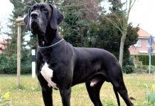 Chó Great Dane màu đen đốm trắng