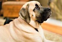 Cận cảnh khuôn mặt đầy thơ dại của chó Ngao Anh