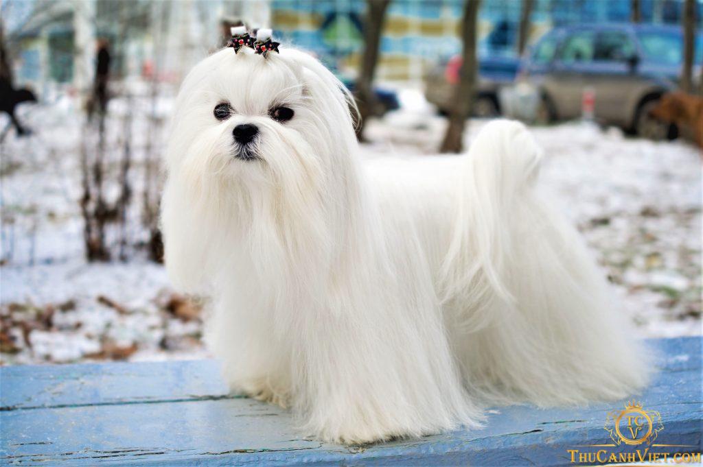 Chó Maltese có khuôn mặt xinh xắn như bụt tuyết phải không nào