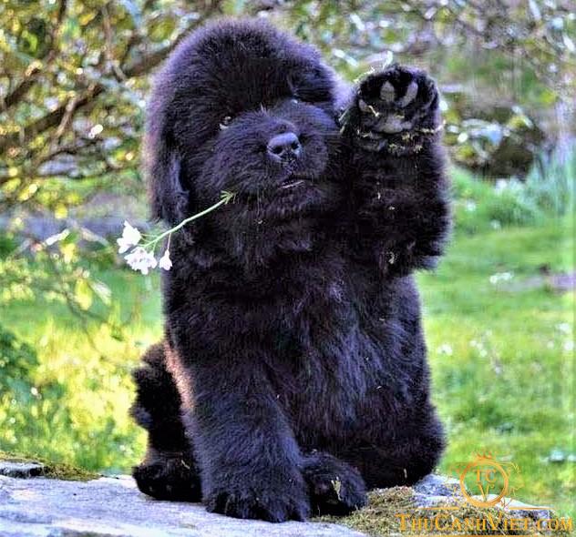Chó Newfoundland màu đen tuyền cực kute