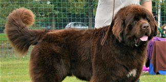 Mẫu Chó Newfoundland Đạt Chuẩn Ngoại Hình