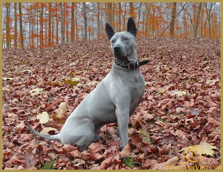 Ridgeback Thái-giống chó lông xoáy Thái Lan quý hiếm