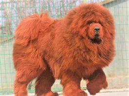 Chó Tibetan Mastiff cực kỳ giống 1 chú sư tử
