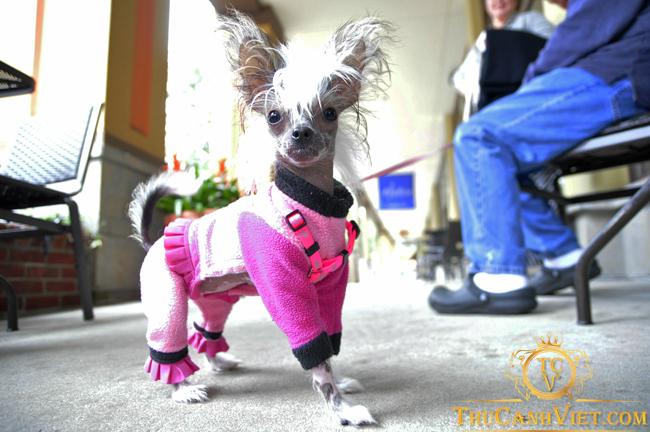 Phong cách Chó Tiny Chinese Crested