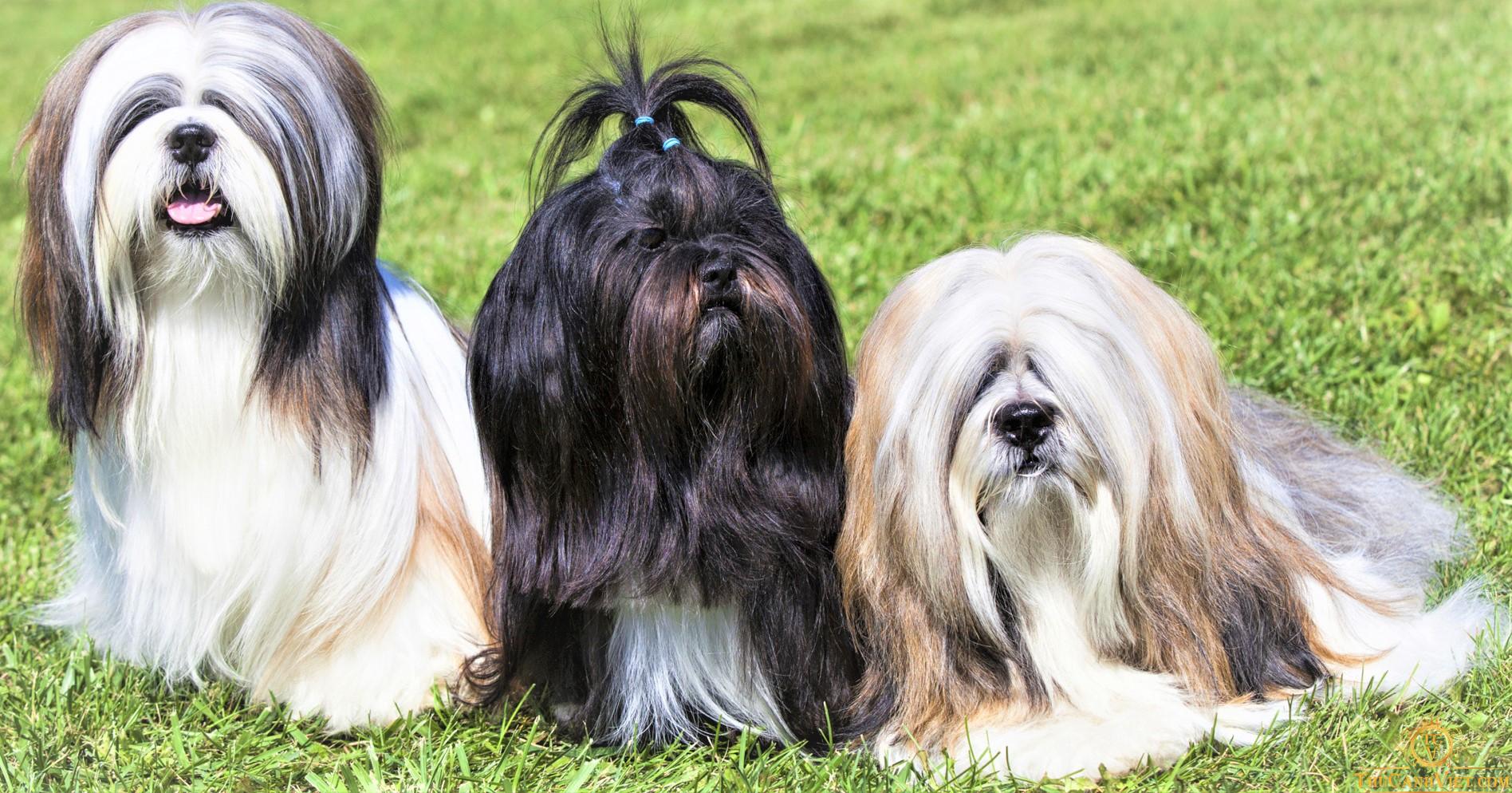 Hình dáng chó Lhasa Apso trưởng thành