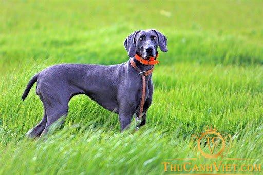 Chó Weimaraner màu đen xám trưởng thành
