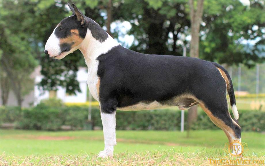 Chó bò sục màu đen trắng