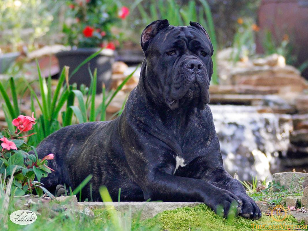 Chó cane corso trưởng thành màu đen phong thủy - Có nét gì đó như một con tê giác phải không?