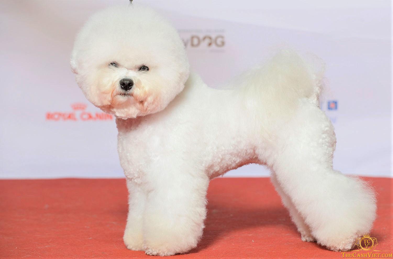 Chó Bichon Frise khi được spa cắt tỉa làm đẹp