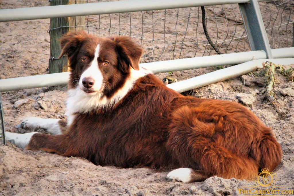 Màu lông của chó chăn cừu đức khá đa dạng