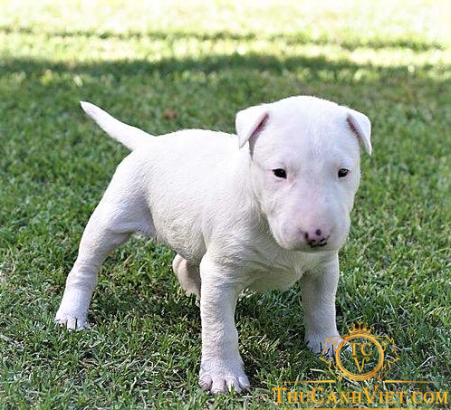 Chó Bully khi còn nhỏ
