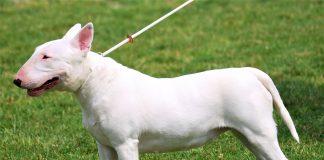 Vóc dáng Chó Bull Terrier màu trắng sữa