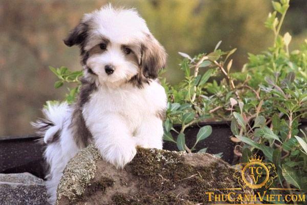 Chó Havanese con rất đáng yêu ngay từ khi còn nhỏ
