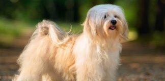 Chó Havanese trở nên đẹp hơn khi được cắt tỉa gọn gàng