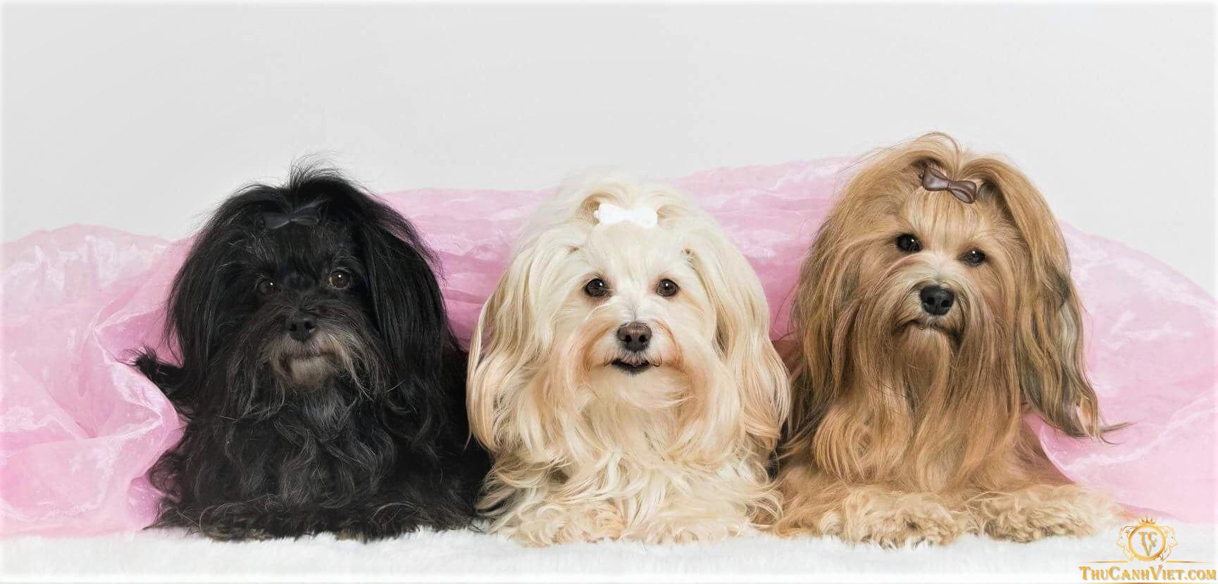 Chó Havanese - Một trong những giống chó Bitchon lông dài vô cùng đáng yêu
