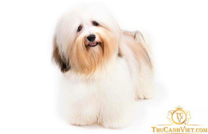 Chó Havanese lông mặt dài khi trưởng thành