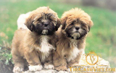 Chó Lhasa Apso 2 tháng tuổi
