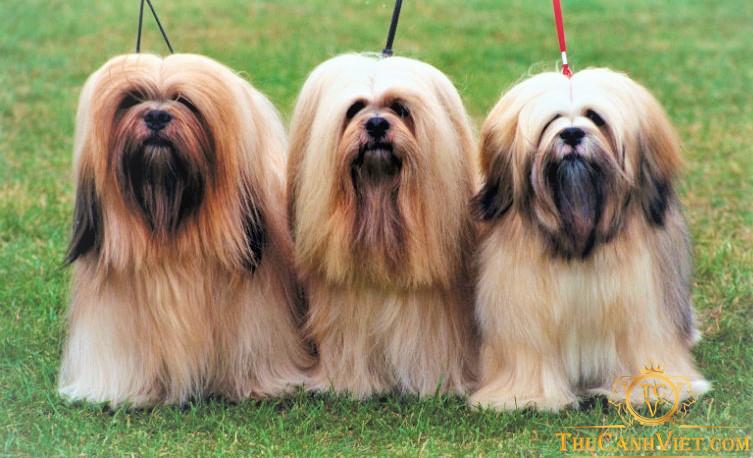 Những chú chó Lhasa Apso đẹp