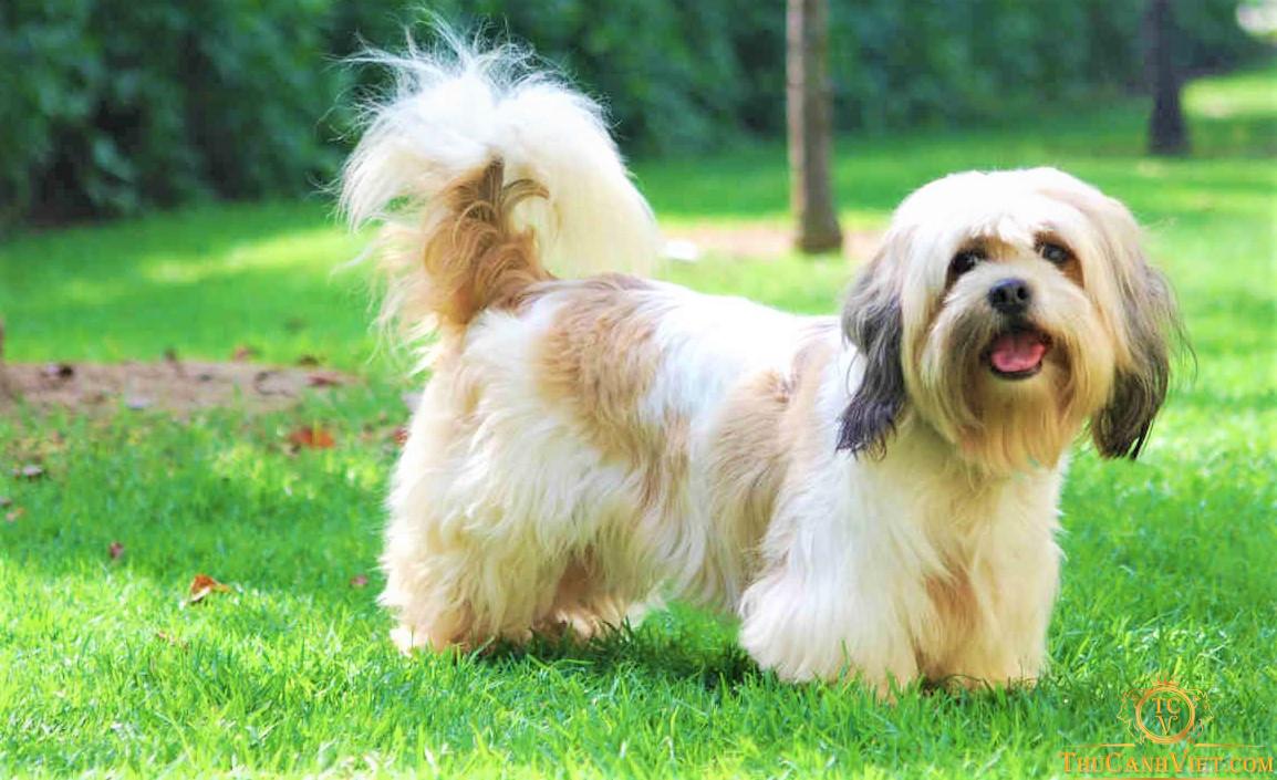 Chó Lhasa Apso ở tuổi dậy thì