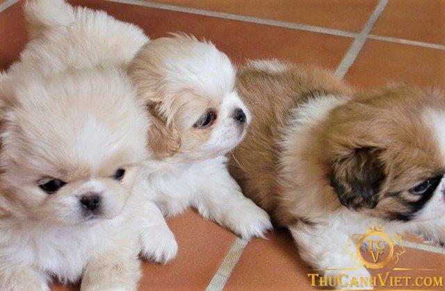 Hình ảnh các bé chó bắc kinh 2 tháng tuổi