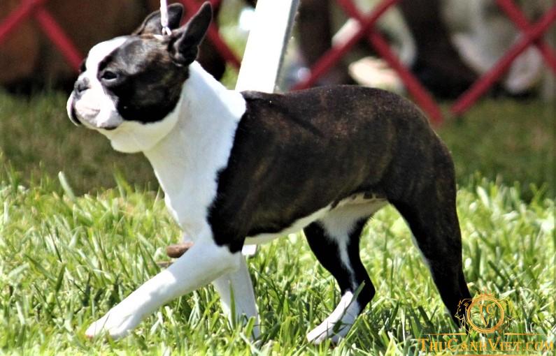 Chó sục boston màu bò sữa vện