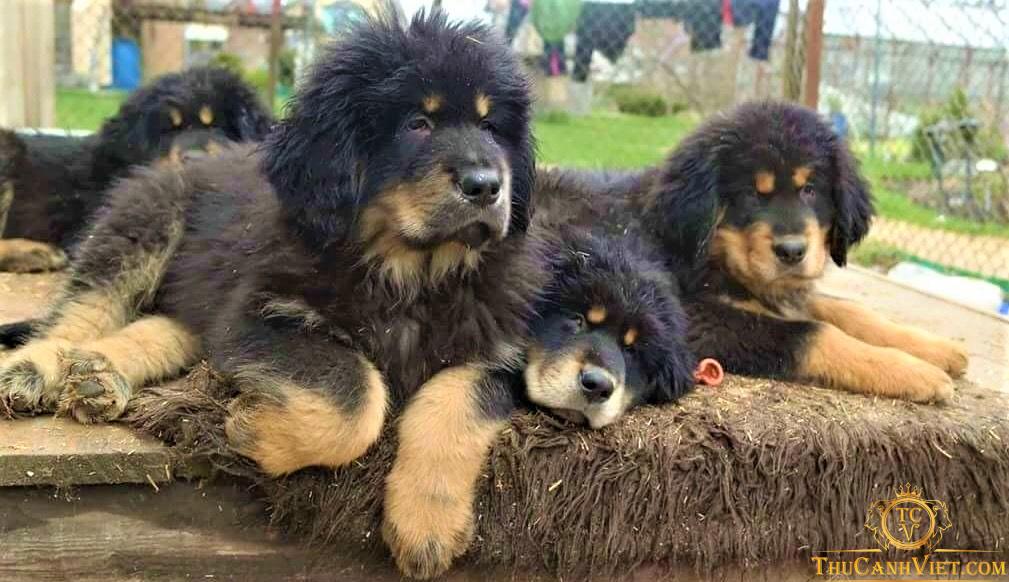 Khuôn mặt chó ngao tây tạng 4 tháng tuổi màu đen chân vàng