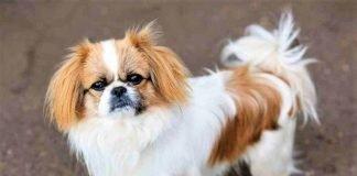 Chó pekines thuần chủng trưởng thành