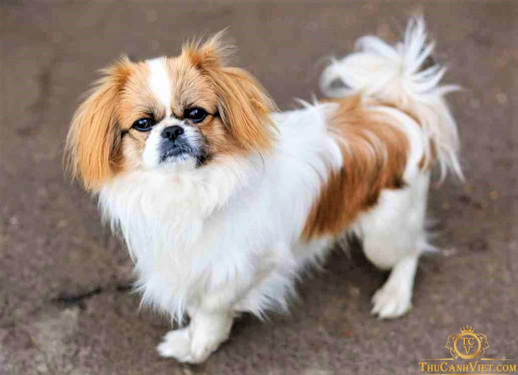 Chó pekines thuần chủng trưởng thành cũng khá giống với giống chó nhật phải không nào