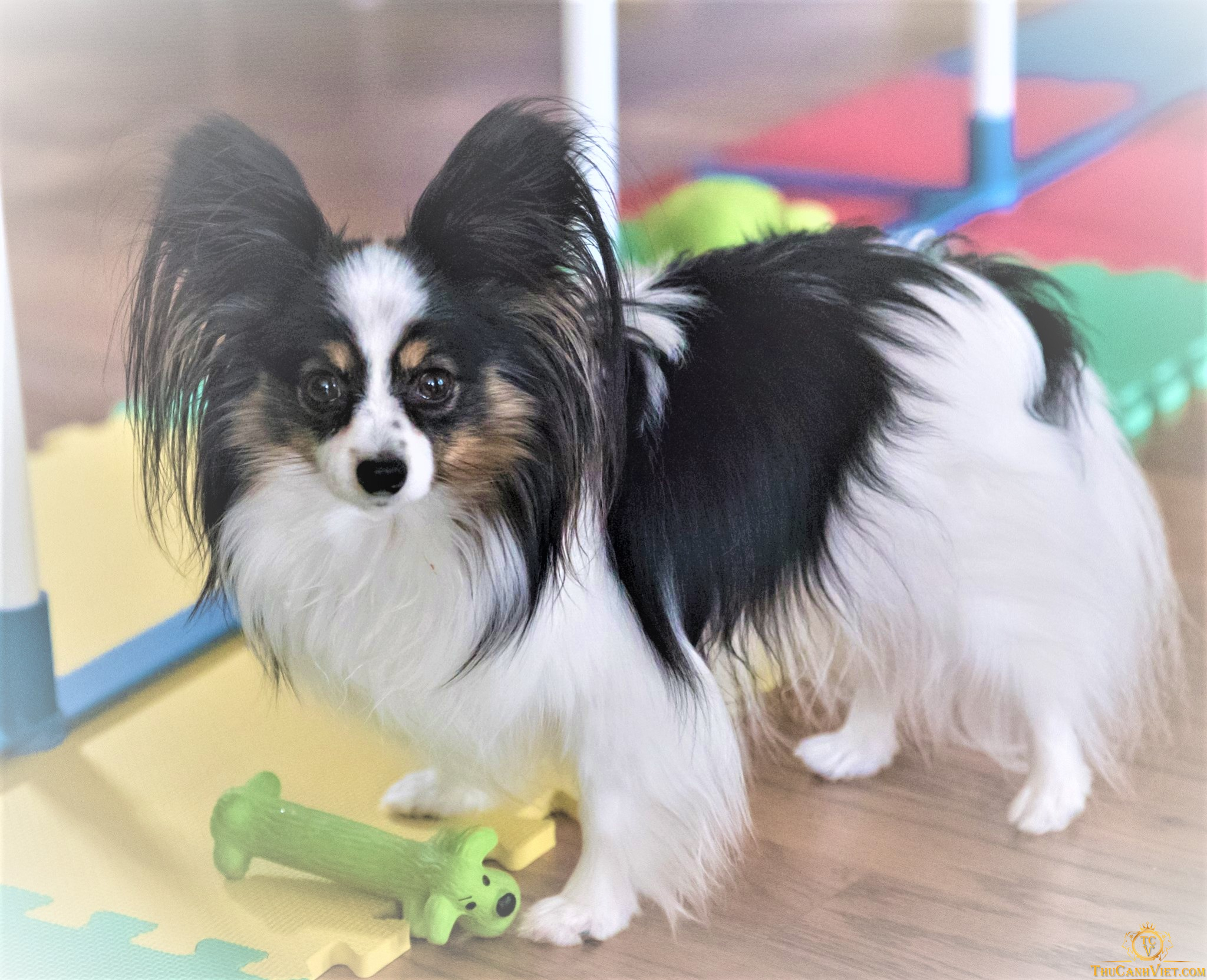 Chó Papillon - chú chó tai bướm xinh đẹp