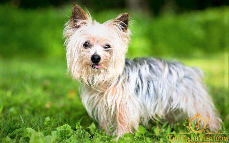 Chó yorkshire terrier thuần chủng khoảng 3-4 tháng tuổi