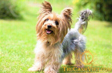 Chó yorkshire terrier vui đùa phơi nắng