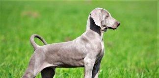 Form dáng chuẩn của chó Weimaraner