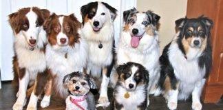 Đại gia đình nhà Chó Chăn Cừu Úc