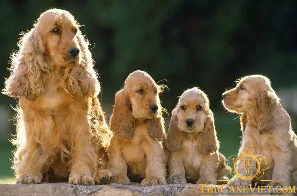 Gia đình nhà chó cocker spaniel
