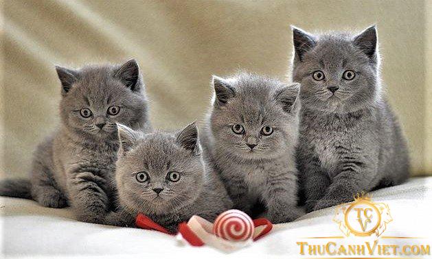 Đàn mèo anh nhỏ lông ngắn thuần chủng cực đáng yêu