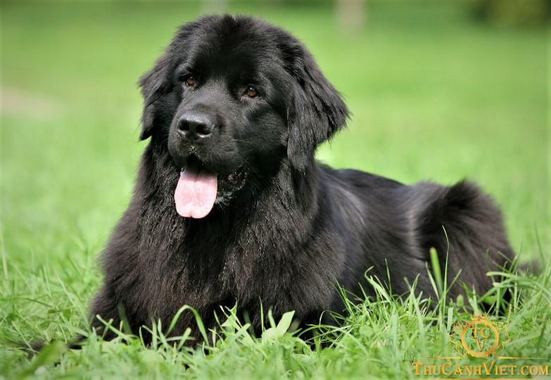 Chó newfoundland màu đen 4 tháng tuổi