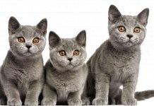 Short hair cat blue - Màu mèo ưa chuộng nhất